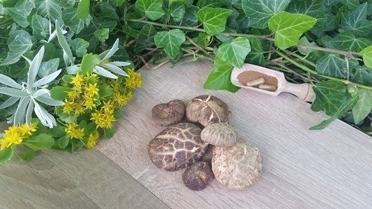 Bio Shiitake - Lentinula edodes